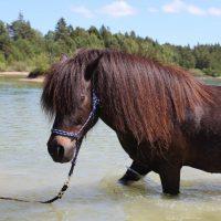 Gotlands Djurpark Islandshäst