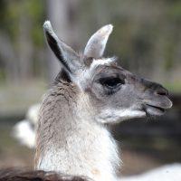 Gotlands Djurpark Lama