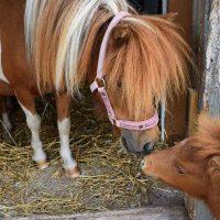 Gotlands Djurpark Amerikansk Miniatyrhäst