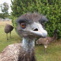 Gotlands-Djurpark-Eskelhem-Emu