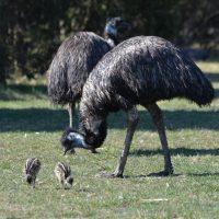 Gotlands Djurpark Emu