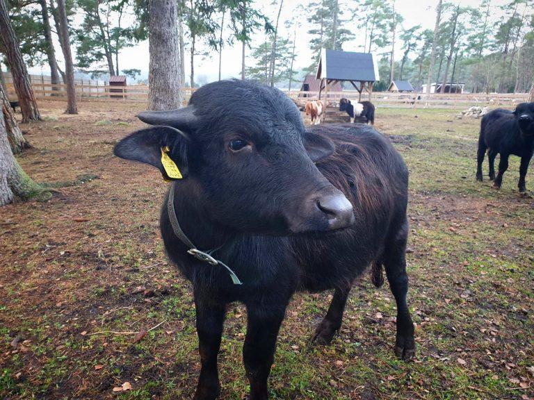 Gotlands Djurpark Vattenbuffel
