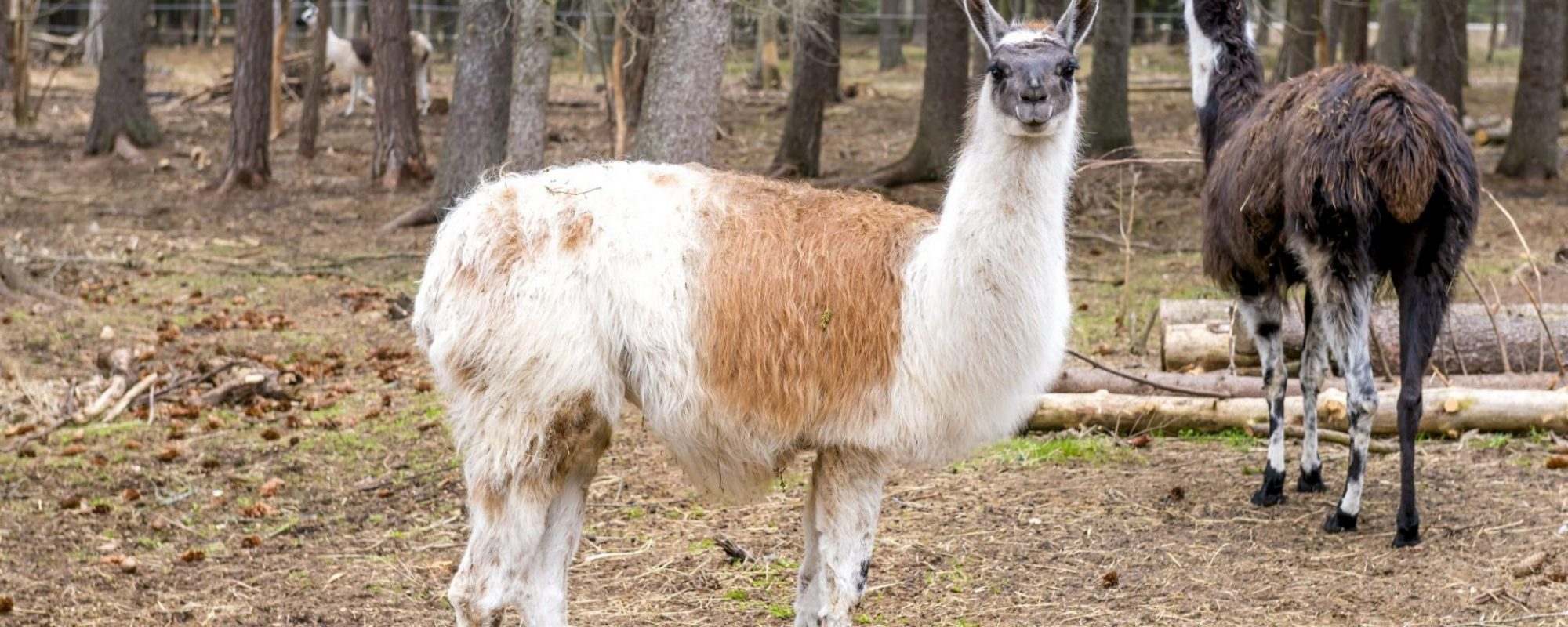 Gotlandsdjurpark-kaldhage-djur-516