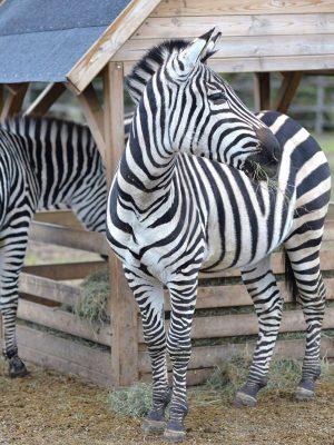 Gotlands Djurpark Zebra