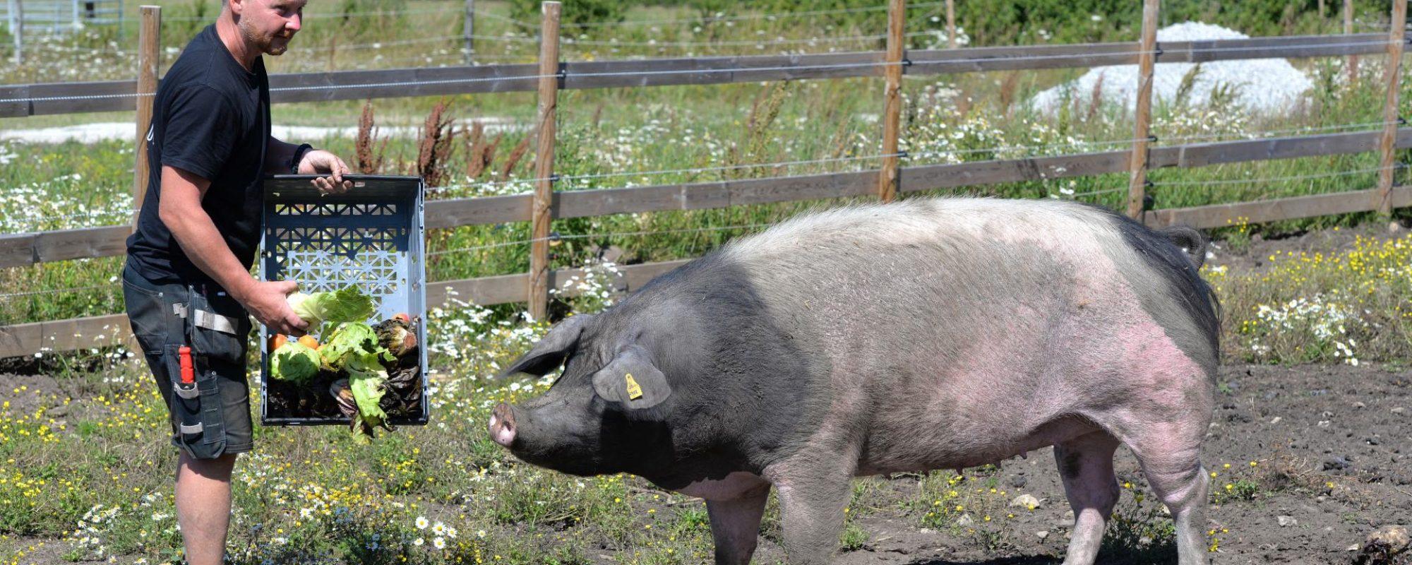 GotlandsDjurpark Piggham Gris
